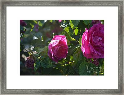 Roses At Sunrise Framed Print by Alys Caviness-Gober