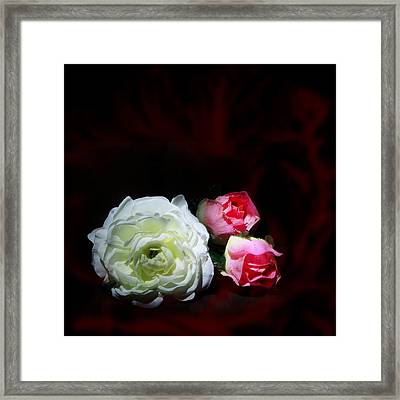 Roses Framed Print by Cecil Fuselier