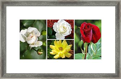 Roses Collage Framed Print by Christina Rollo