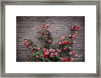 Roses On Brick Wall Framed Print by Elena Elisseeva