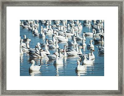 Ross's And Snow Geese In Freshwater Framed Print by Maresa Pryor