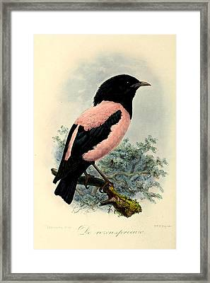 Rosy Starling Framed Print by J G Keulemans