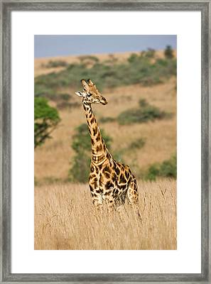 Rothschild Giraffe (giraffa Framed Print by Martin Zwick