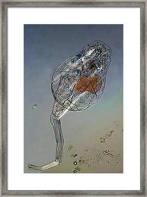 Rotifer With Embryo Framed Print by Marek Mis