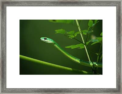 Rough Green Snake (opheodrys Aestivus Framed Print by Pete Oxford