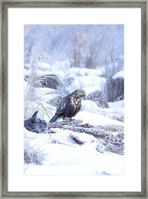 Rough Legged Hawk On Deer Carcass Framed Print by Gregory K Scott
