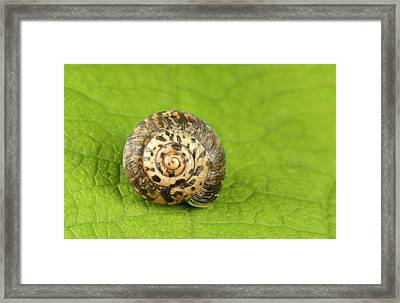 Rounded Snail Framed Print by Nigel Downer