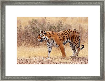 Royal Bengal Tiger Walking Around Dry Framed Print by Jagdeep Rajput