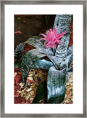 Royal Bromeliad Framed Print by Sandra Pena de Ortiz
