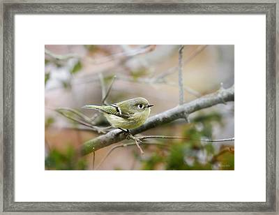 Ruby-crowned Kinglet Framed Print by Christina Rollo