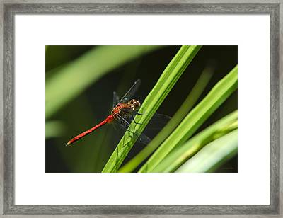 Ruby Meadowhawk Dragonfly On Green Grass Framed Print by Christina Rollo