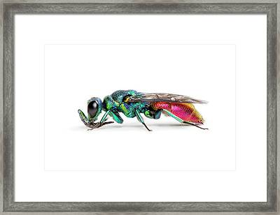 Ruby-tailed Wasp Framed Print by Alex Hyde