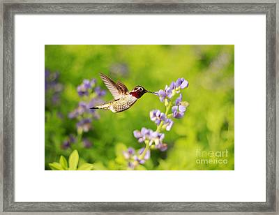Ruby Throated Hummingbird Framed Print by Darren Fisher