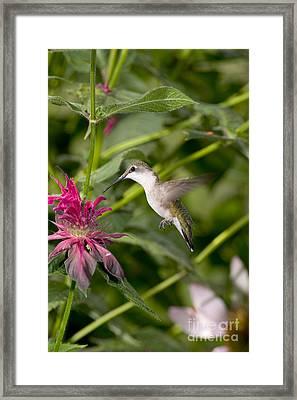 Ruby-throated Hummingbird Framed Print by Gregory K Scott