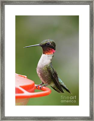 Ruby-throated Hummingbird Male 11702-1 Framed Print by Robert E Alter Reflections of Infinity