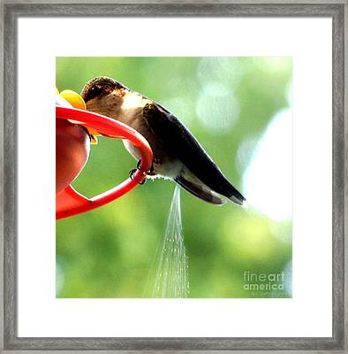 Ruby-throated Hummingbird Pooping Framed Print by Rose Santuci-Sofranko