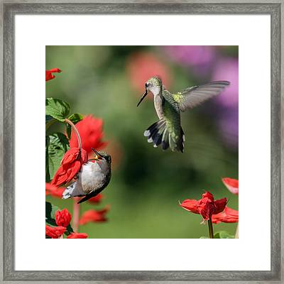 Ruby-throated Hummingbirds Framed Print by David Lester