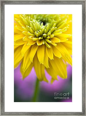 Rudbeckia Cherokee Sunset Flower Framed Print by Tim Gainey