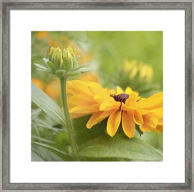 Rudbeckia Flower Framed Print by Kim Hojnacki