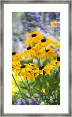 Rudbeckia Fulgida Goldsturm Framed Print by Tim Gainey