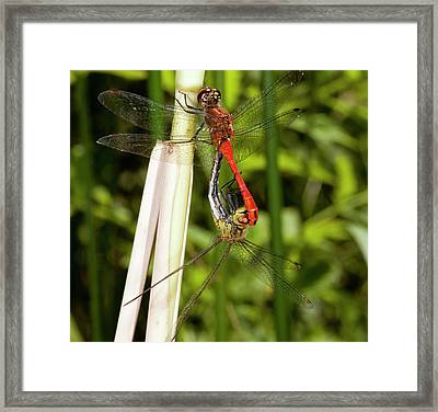Ruddy Darter Dragonflies Mating Framed Print by Bob Gibbons