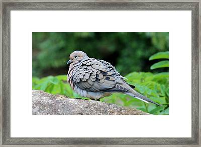 Ruffled Feathers Framed Print by Cynthia Guinn