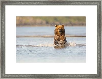 Running After The Salmon Framed Print by Tim Grams