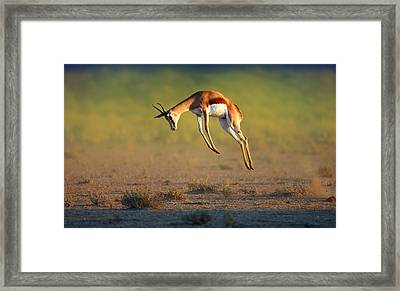Running Springbok Jumping High Framed Print by Johan Swanepoel