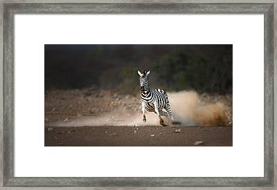 Running Zebra Framed Print by Johan Swanepoel