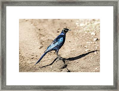 Ruppell's Glossy-starling Framed Print by Photostock-israel