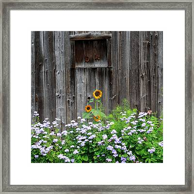Rustic Barnwood Sunflower Framed Print by Bill Wakeley
