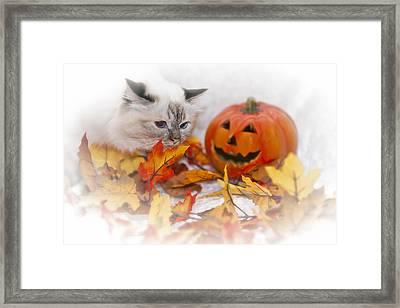 Sacred Cat Of Burma Halloween Framed Print by Melanie Viola
