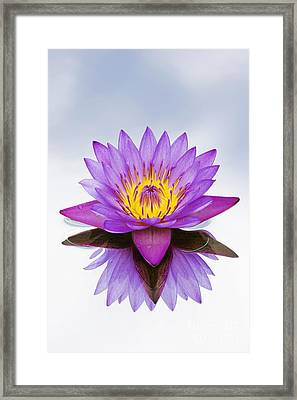 Sacred Indian Blue Lotus Flower Framed Print by Tim Gainey