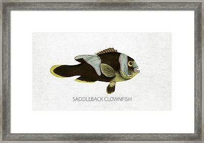 Saddleback Clownfish Framed Print by Aged Pixel