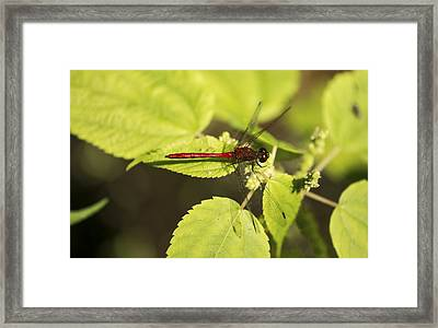 Saffron-winged Meadowhawk Framed Print by Tracy Winter