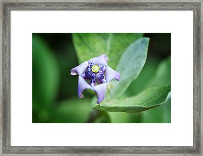 Botanical Art Print - Star Of The Garden - By Sharon Cummings Framed Print by Sharon Cummings