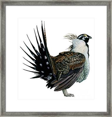 Sage Grouse  Framed Print by Anonymous