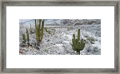 Saguaro Cactus In A Desert Framed Print by Panoramic Images