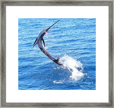 Sailfish Jump Framed Print by Carey Chen