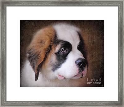Saint Bernard Puppy Framed Print by Jai Johnson