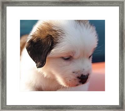 Saint Bernard Puppy Framed Print by Mechala  Matthews