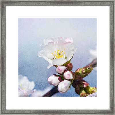 Sakura Flower - Square Framed Print by Alexander Senin