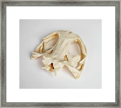 Salamander Skull Model Framed Print by Ucl, Grant Museum Of Zoology