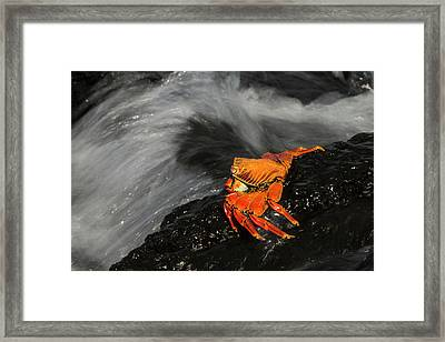 Sally Lightfoot Crab (grapsus Grapsus Framed Print by Pete Oxford