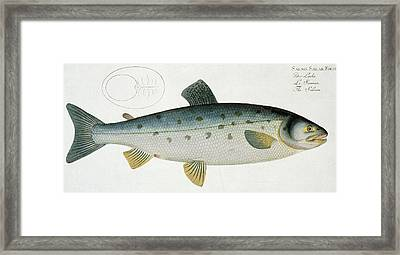 Salmon Framed Print by Andreas Ludwig Kruger