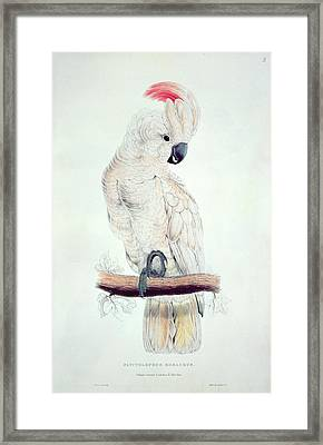 Salmon Crested Cockatoo Framed Print by Edward Lear