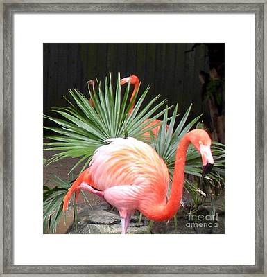 Salmon Flamingos Framed Print by Joseph Baril
