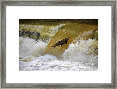 Salmon Jump Framed Print by Charline Xia