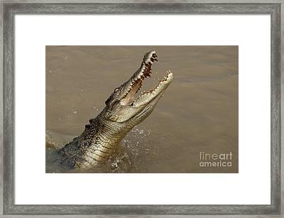 Salt Water Crocodile Australia Framed Print by Bob Christopher