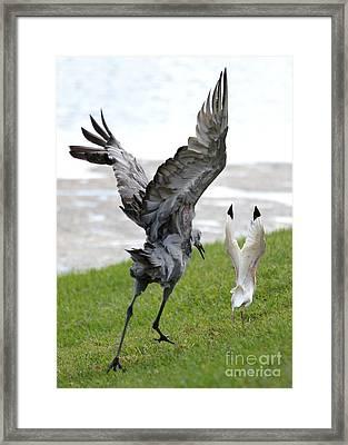 Sandhill Chasing Ibis Framed Print by Carol Groenen